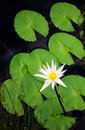 White lotus water lily flower Stock Photos
