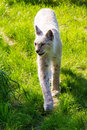 White lynx beautiful close up of an eurasian on a bright and sunny day Royalty Free Stock Photography