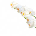 White and magenta phalaenopsis orchid isolated Royalty Free Stock Photo