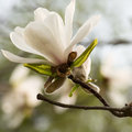 White magnolia blossom Royalty Free Stock Photo