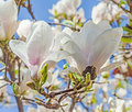 White Magnolia branch flowers, tree flowers, blue sky background Royalty Free Stock Photo