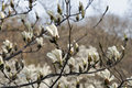 White magnolia branch with spring blooming flowers and buds Royalty Free Stock Photo