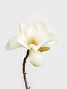 White magnolia flower Royalty Free Stock Photo