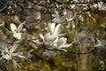 White magnolia flowers Royalty Free Stock Photo