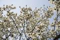 White magnolia flowers on tree Royalty Free Stock Photo