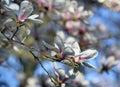 White magnolia flowers under spring sunshine Royalty Free Stock Photo