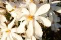 White magnolia loebneri Royalty Free Stock Photo