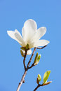 White magnolia spring blue backgrounds Stock Image
