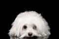 White Maltese Dog Lying, sad eyes Looking in Camera isolated Royalty Free Stock Photo