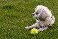 White Maltese dog / Shih tzu with pink collar playing fetch (looking away from camera) Royalty Free Stock Photo