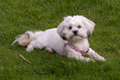 White Maltese dog / Shih tzu with pink collar playing fetch Royalty Free Stock Photo
