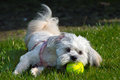 White Maltese dog / Shih tzu with pink collar playing with tennis ball (ear turned) Royalty Free Stock Photo
