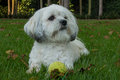 White Maltese dog / Shih tzu with tennis ball Royalty Free Stock Photo