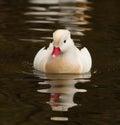 White Mandarin Duck Royalty Free Stock Photo