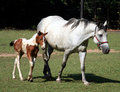 White mare and foal Stock Images
