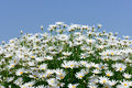 White marguerite flowers against blue sky Stock Images