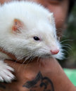 White marten in han a animal human hand Stock Images