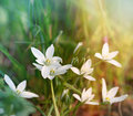White meadow flowers in grass Royalty Free Stock Images