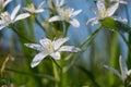 White Milchstern Flower