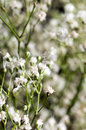 White million star flowers Stock Photography