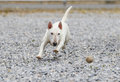 White mini bull terrier chasing a ball miniature in the rocks Stock Images
