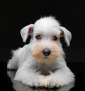 White miniature schnauzer puppy on black background Royalty Free Stock Images