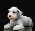 White miniature schnauzer puppy on black background Royalty Free Stock Photography