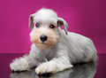 White miniature schnauzer puppy on pink background Royalty Free Stock Photo