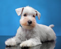 White miniature schnauzer puppy portrait of Stock Photo