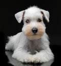 White miniature schnauzer puppy portrait of Stock Image