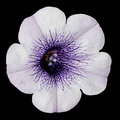White Morning Glory Flower with Purple Center Royalty Free Stock Images
