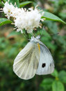 White moth on the flowers Stock Photography