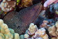 White Mouth Moray Eel Royalty Free Stock Photos