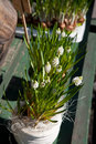 White muscari flowers Stock Images