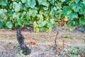 White Muscat grapevines full of almost ripe bunches of  white grape Royalty Free Stock Photo