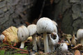 White mushrooms and autumn leaves in a fall forest Royalty Free Stock Image