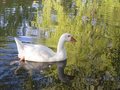 White Mute Swan Swimming Royalty Free Stock Photography