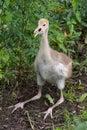 White-naped Crane - fledgeling Royalty Free Stock Photo