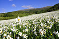 White narcissus field, spring day. Royalty Free Stock Photo