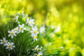 White narcissus flowers, in the summer background. Royalty Free Stock Photo