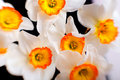 White narcissus flowers with yellow petals Royalty Free Stock Photo