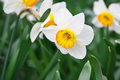 White narcissus growing in the garden poeticus Stock Photography