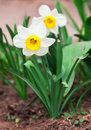 White narcissus growing in the garden poeticus Royalty Free Stock Image