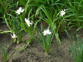 White narcissuses on the flowerbed Royalty Free Stock Image