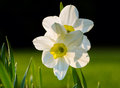 White narcissuses illuminated backlit light of the sun at sunset Stock Photo