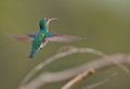 White-necked Jacobin in flight Royalty Free Stock Image