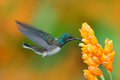 White-necked Jacobin, Florisuga mellivora, blue and white little bird hummingbird flying next to beautiful yellow flower with gree Royalty Free Stock Photo