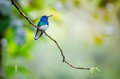 White-necked Jacobin Royalty Free Stock Photo