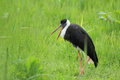 White necked stork in the grass Royalty Free Stock Image