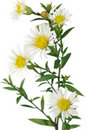 White New York Aster Flowers on White Background Stock Photos